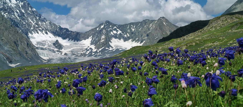 Аквилегия на альпийских лугах
