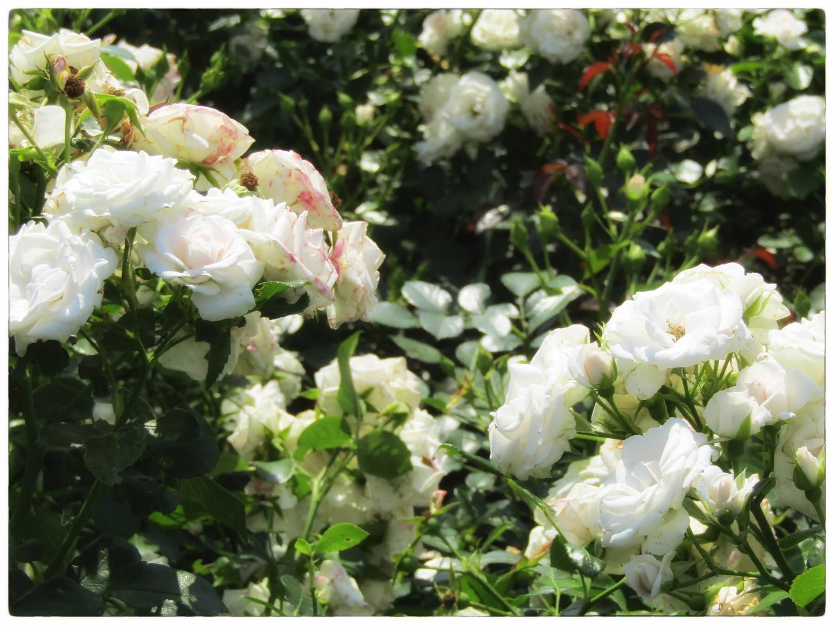 Розарий. Ботанический сад. Москва