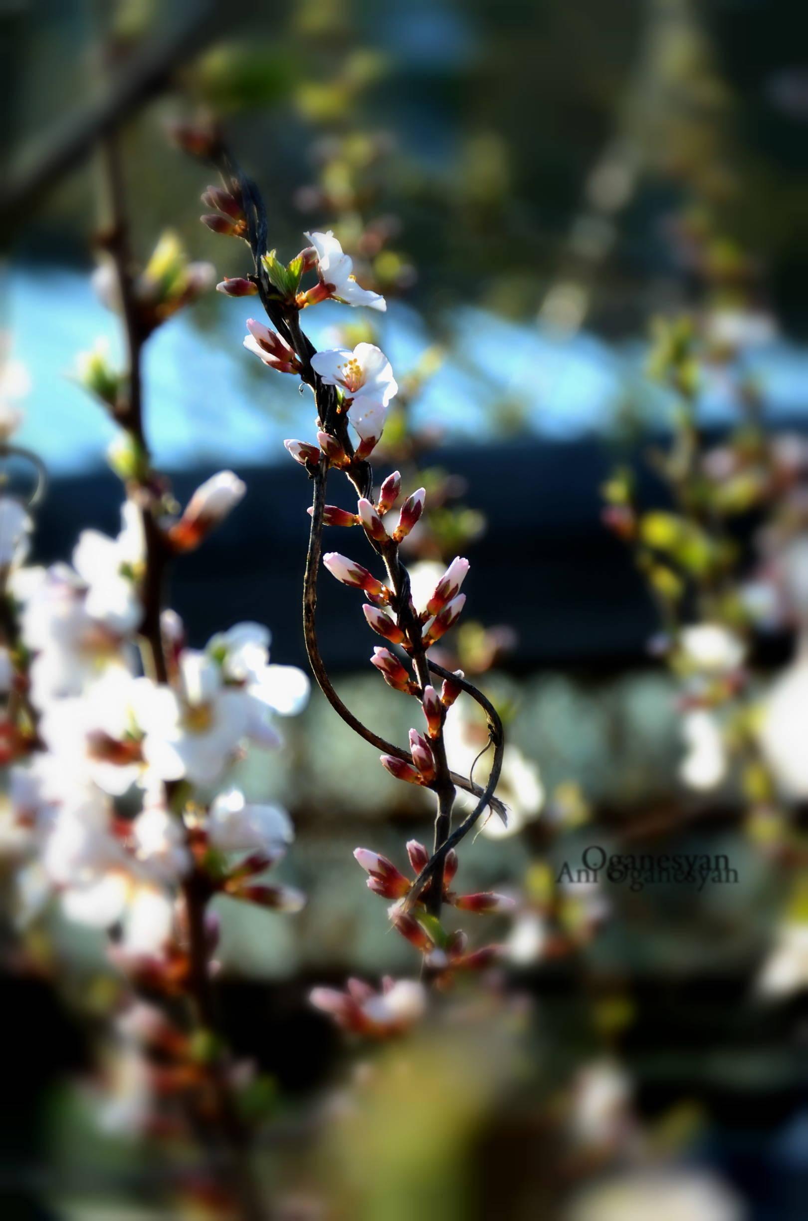 история одного вишневого дерева