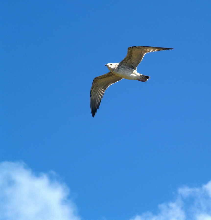 Чайка-хохотун