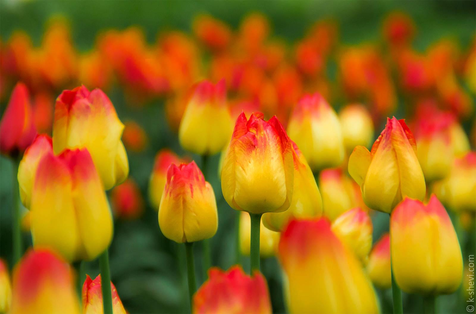Тюльпаны. Их портреты)))