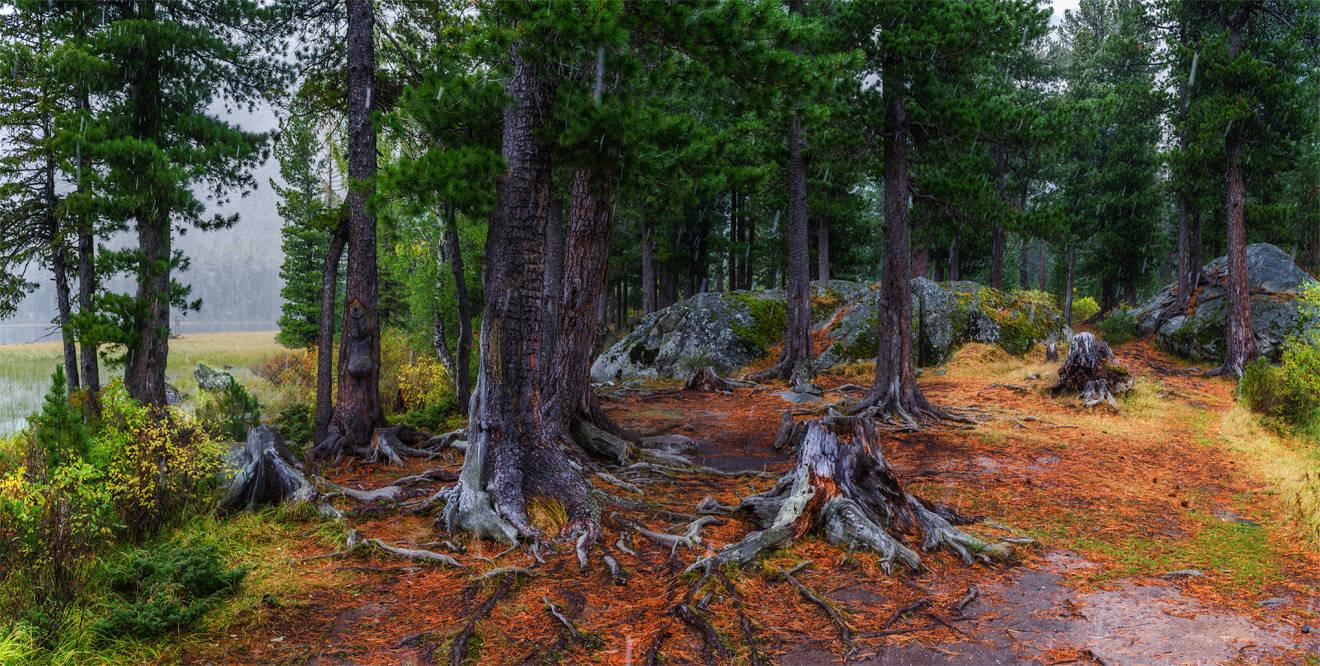 В кедровом лесу