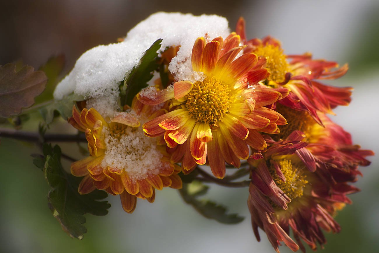 Последние цветы ноября