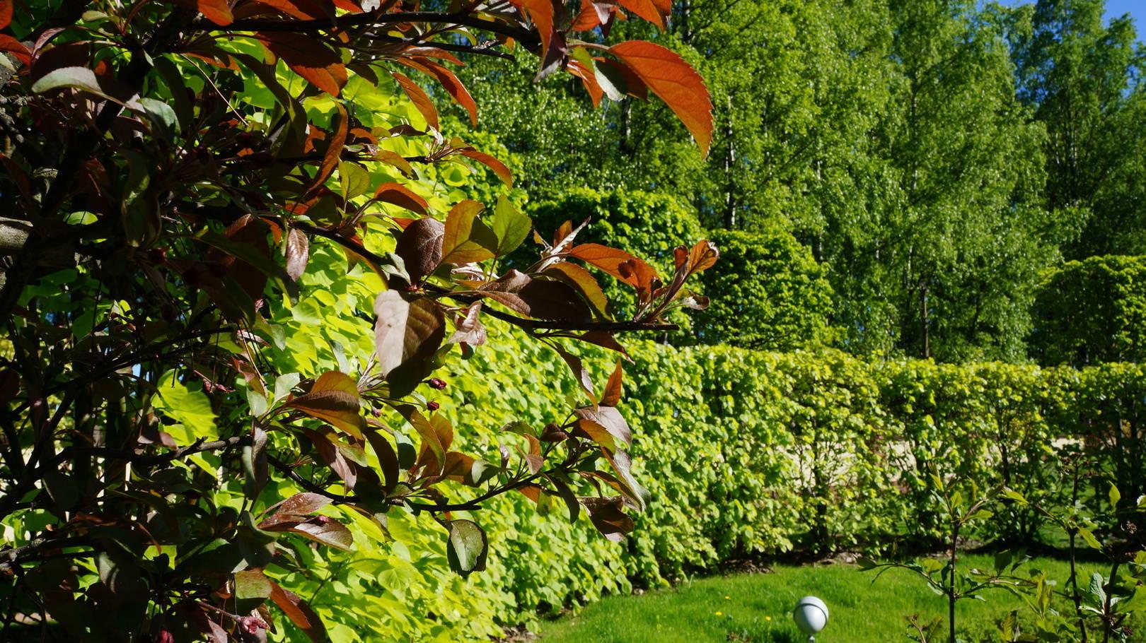 Бронзовый цвет листьев декоративной яблони превосходно смотрится , на фоне липы , даже после того , как она отцвела.