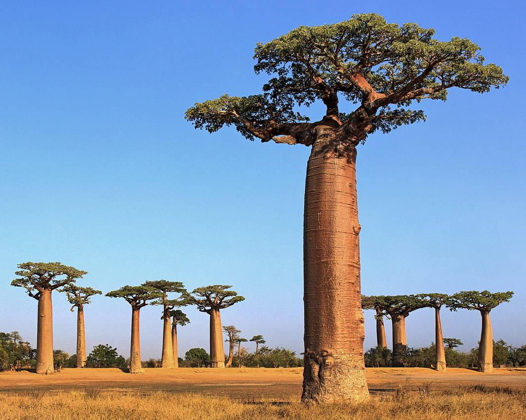 Баобабы на Мадагаскаре.