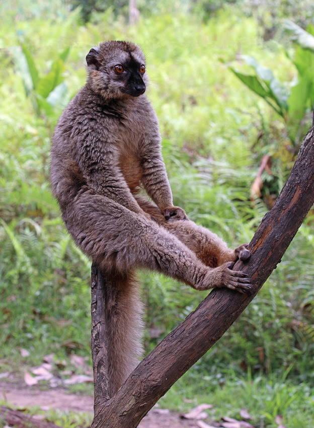 Деловой лемур с Мадагаскара.