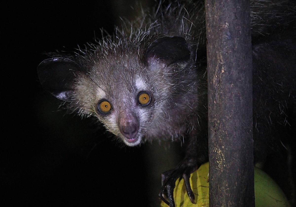 Ночной лемур ай-ай на Мадагаскаре.