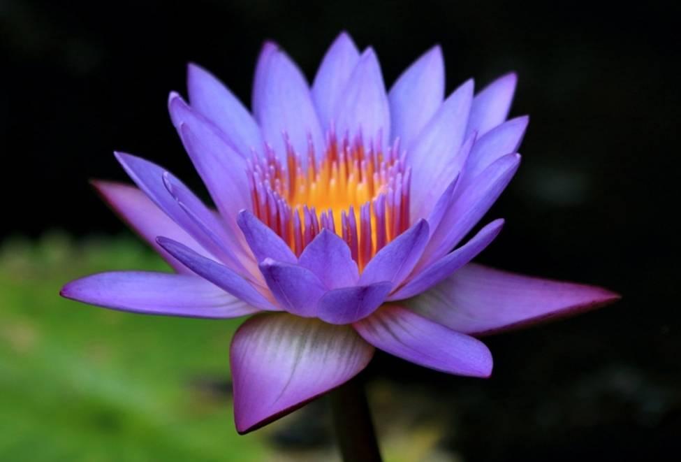 Водная лилия (Ботанический сад. Сейшелы).