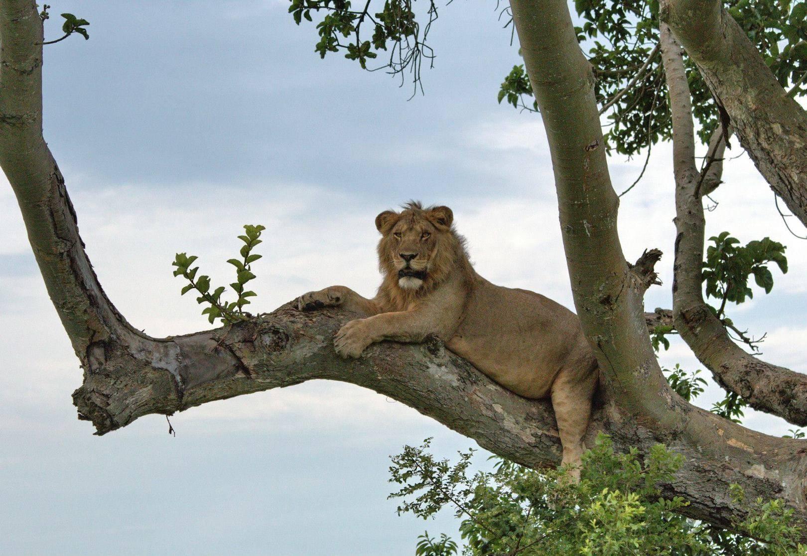 Молодой лев (Уганда).