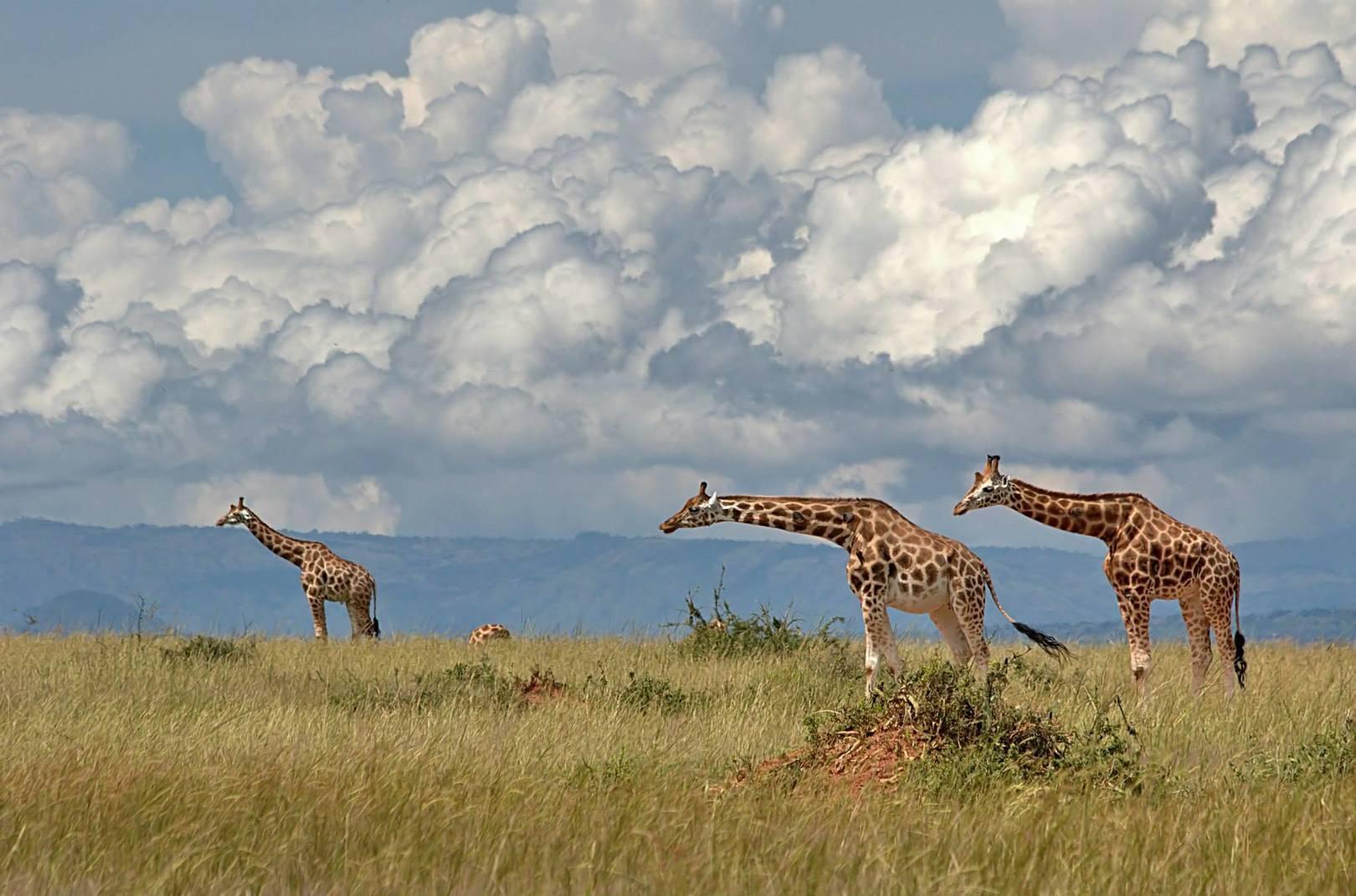 Жирафы идущие против ветра (Уганда).