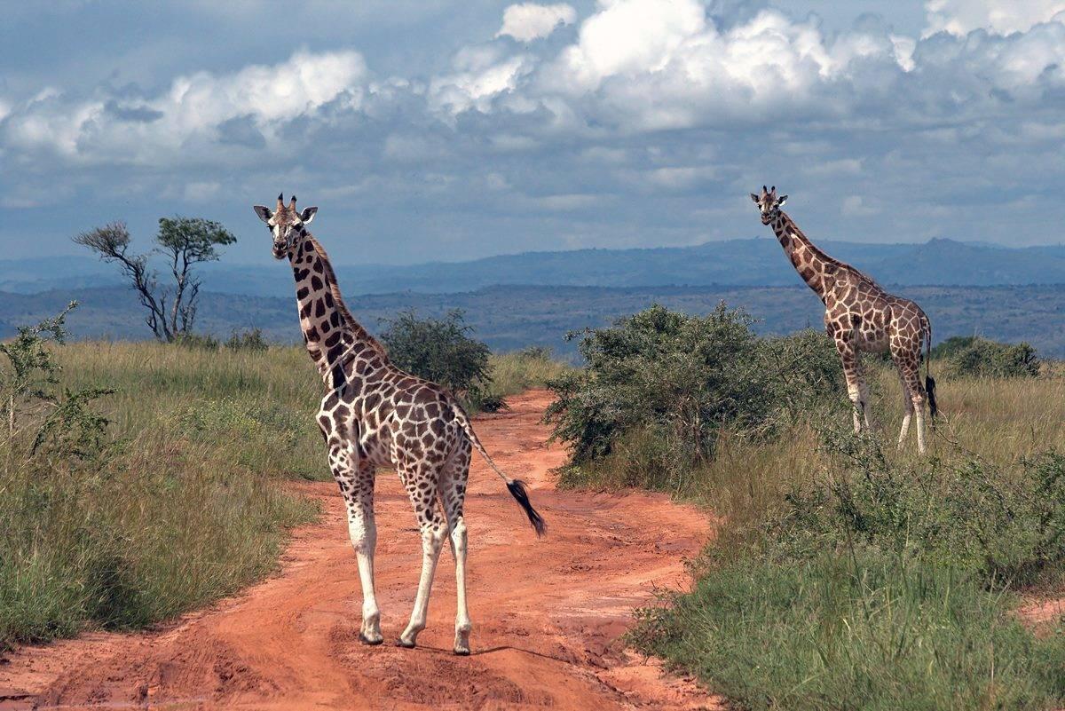 Жирафы (Уганда).