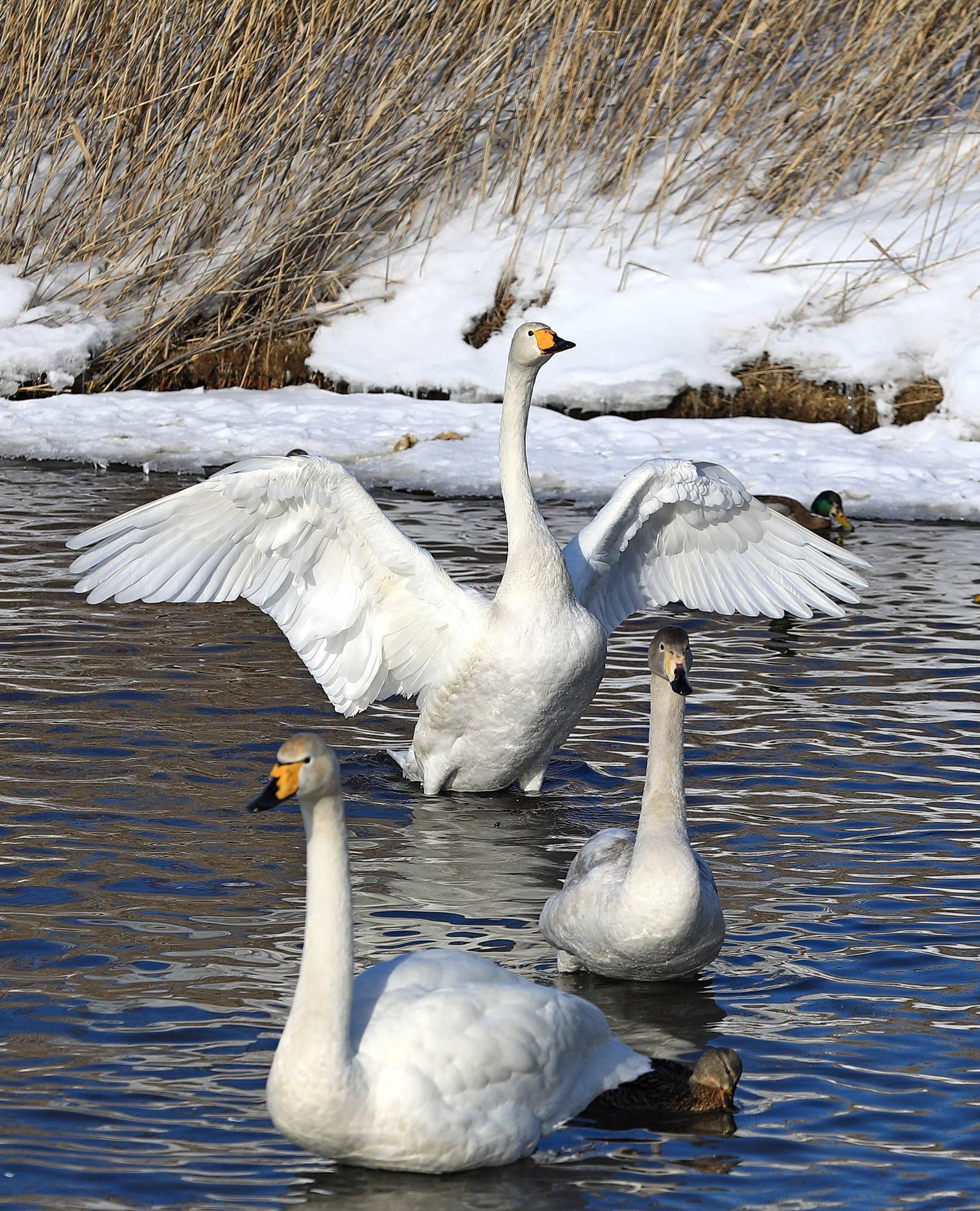 Лебединое царство