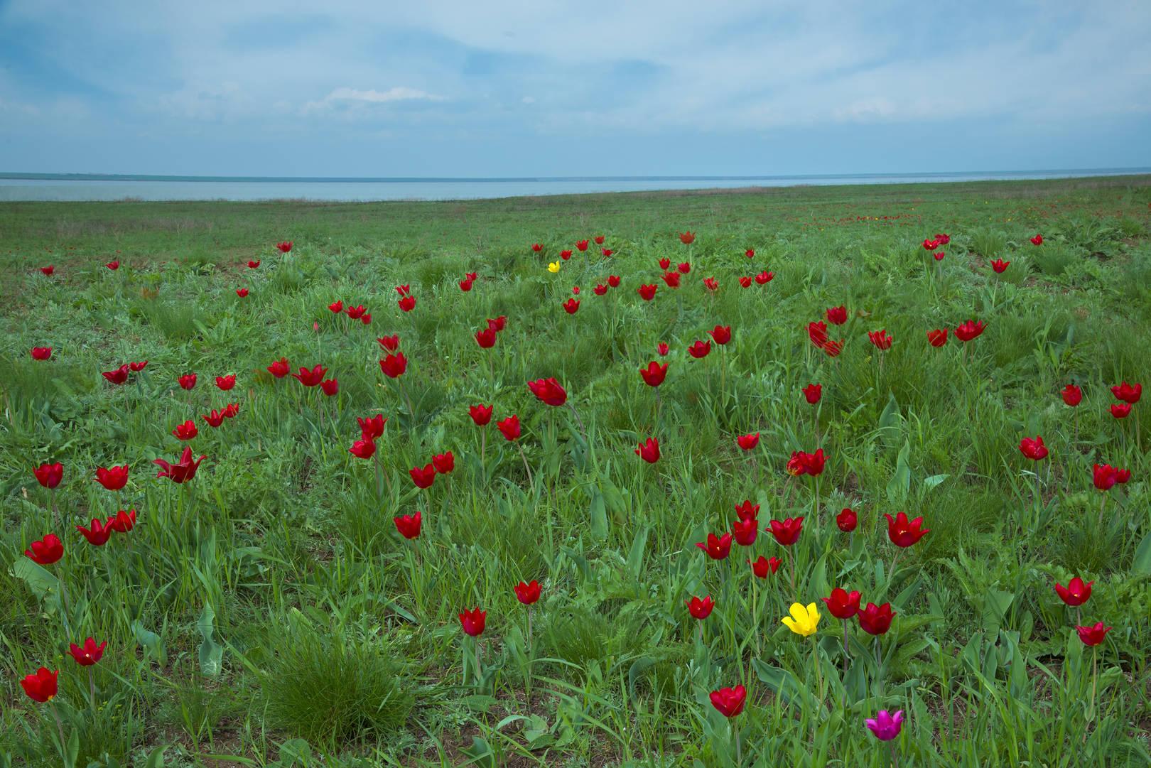 Дикие тюльпаны Калмыкии
