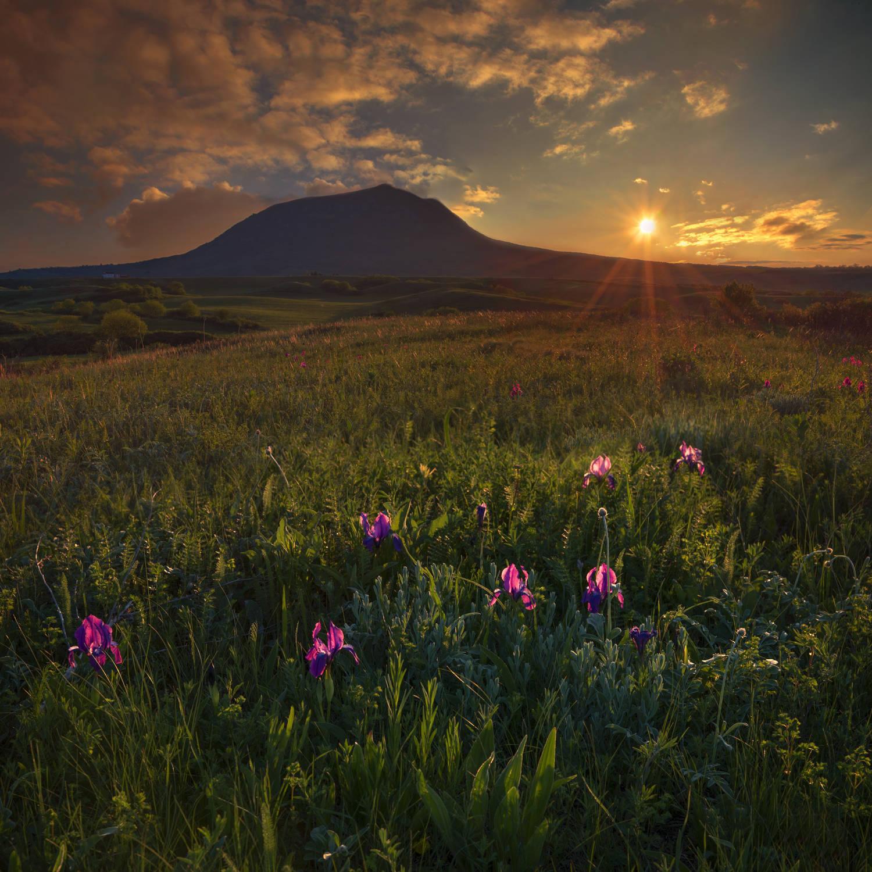 Цветут дикие ирисы