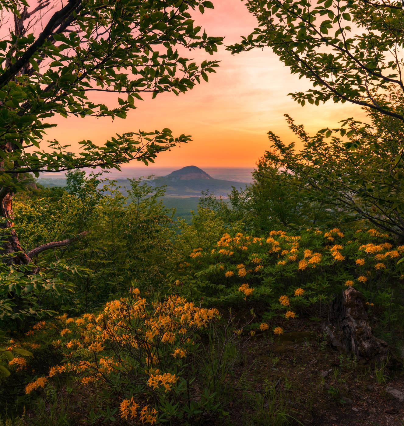 Цветет желтый Кавказский рододендрон