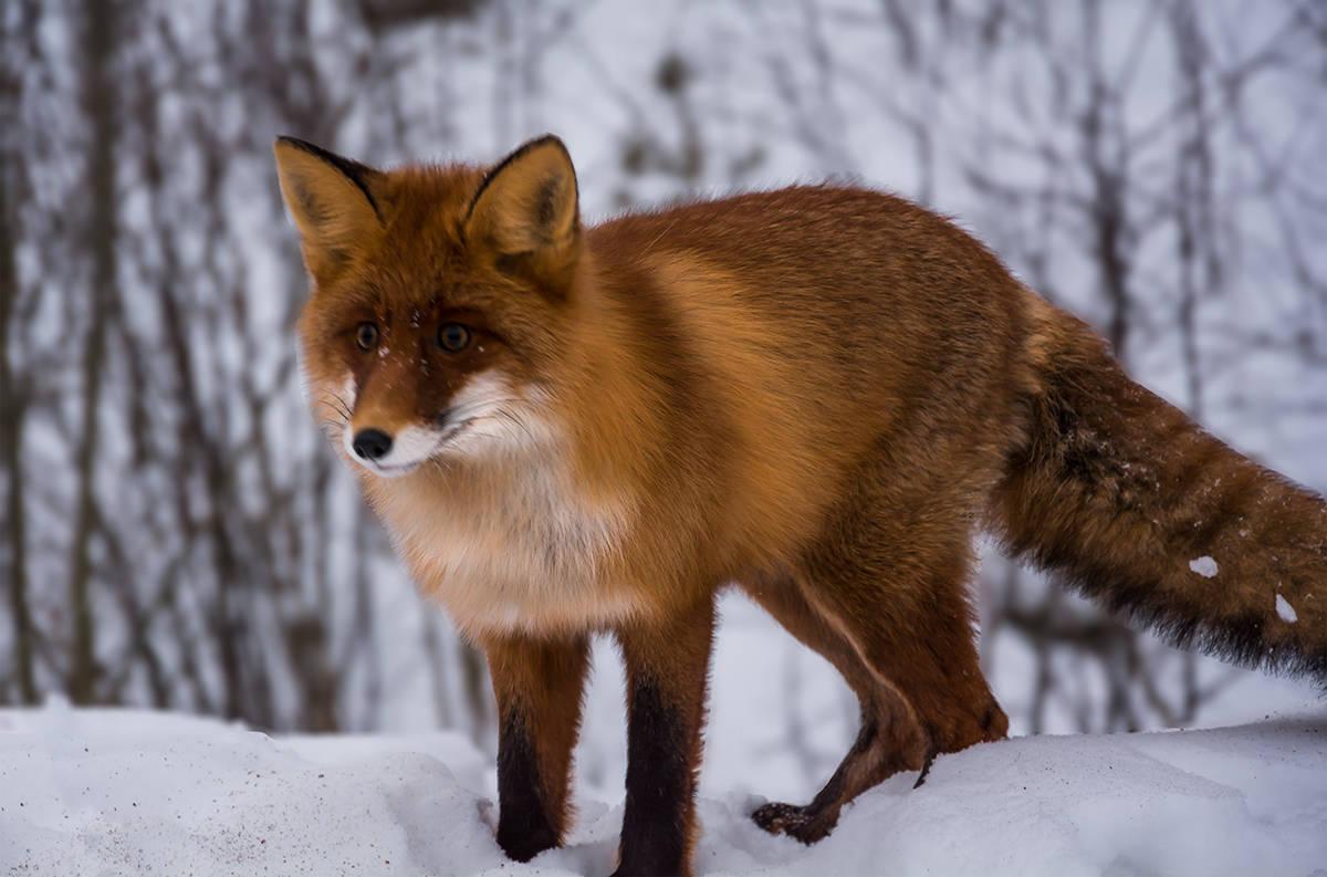 Лисица (Fox)