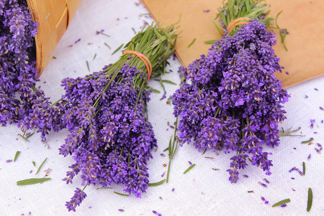 Latvian lavender